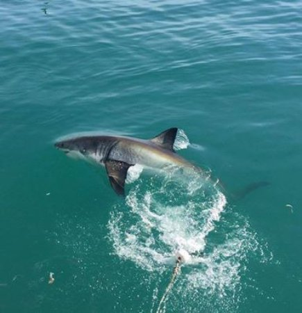 Kleinbaai, แอฟริกาใต้: The first great white shark made a jump out of the water. Cool!