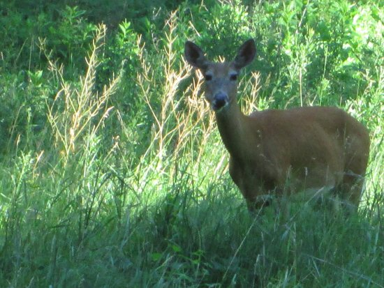 New Ulm, MN: White-tailed deer.   Brown stalks are garlic mustard going to seed.