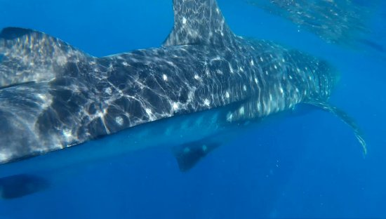 Captain Tony Garcia's Guadalupana Tour Boat : Whale Shark up close and personal