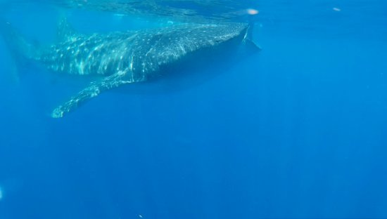 Captain Tony Garcia's Guadalupana Tour Boat : An awesome profile view of a whale shark feeding