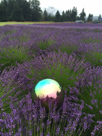 Walterville, OR: a view of the lavender field