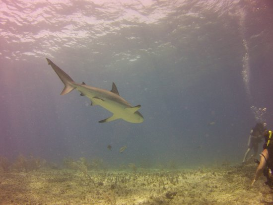 Bimini: One of the many sharks we dove with at Triangle Rocks