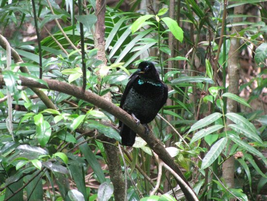 Maleny, أستراليا: Rifle Bird above pond behind education centre