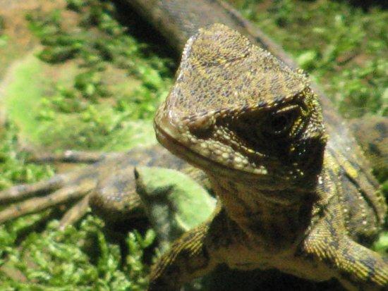 Maleny, أستراليا: A resident of the pond.