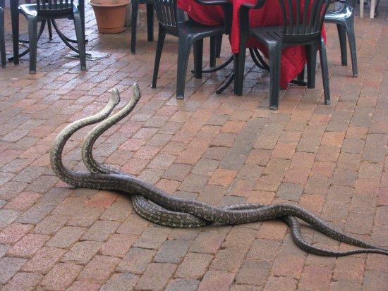 Maleny, أستراليا: Carpet pythons fighting in cafe.