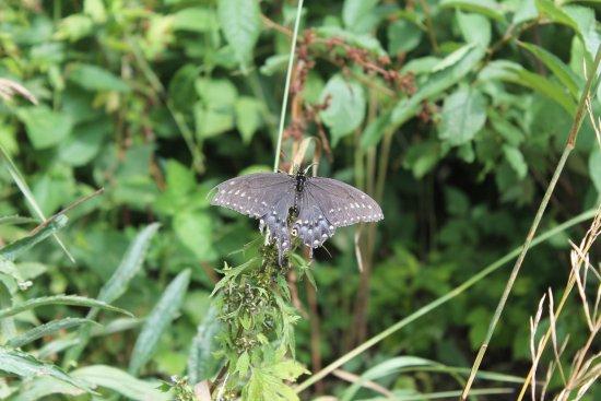 Galena, Илинойс: butterflies galore