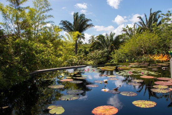 Pond lilies in Naples Botanical Garden.   Absolutely beautiful!