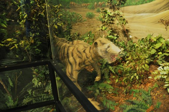 "Fossil, Όρεγκον: Pogonodon - John Day ""tiger"""