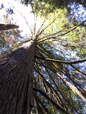 Nanaimo, Canada: View of the tree canopy above, Englishman River Falls Provincial Park
