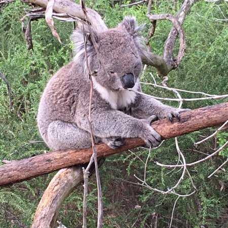 Cowes, Australia: Fun to be so close to these fuzzy critters.