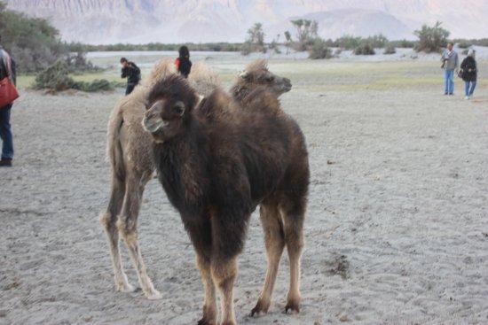 Sand Dunes Leisure Park Infant Double Humped Bactrian Camel