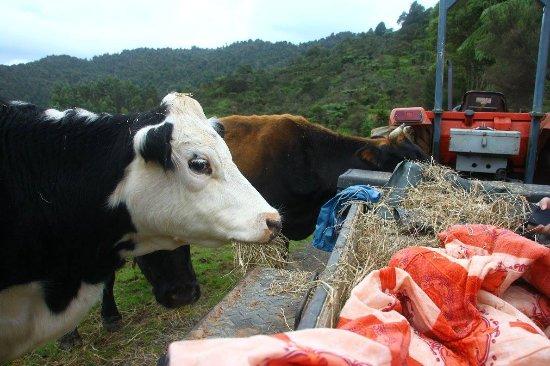 Thames, Nueva Zelanda: Farm tour