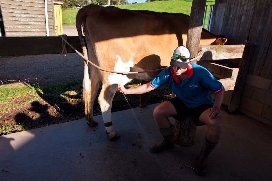 Maleny, ออสเตรเลีย: Milking and tasting demonstration