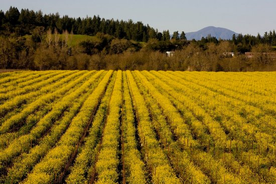 Forestville, Kalifornien: Russian River Vineyards Mustard season