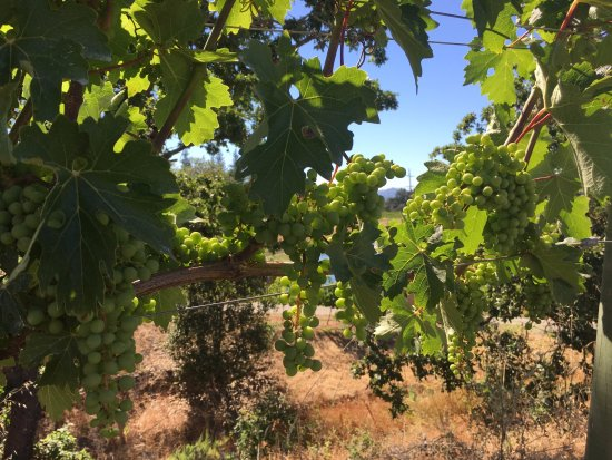 Napa Tours and Chauffeur : Grapes on the Vine