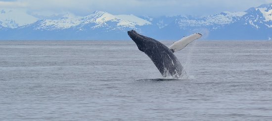 Petersburg, AK: humpback whale watching at it's best