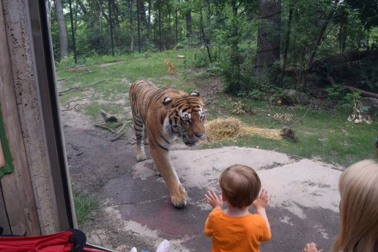 John Ball Zoo: Tiger exhibit