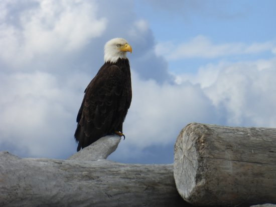 Sequim, WA: One of many eagles we saw along the way. Most flew off but this guy let us get within 20 feet!