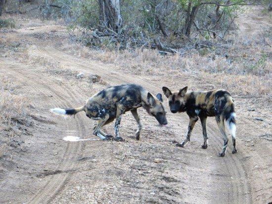 nThambo Tree Camp: wild dogs