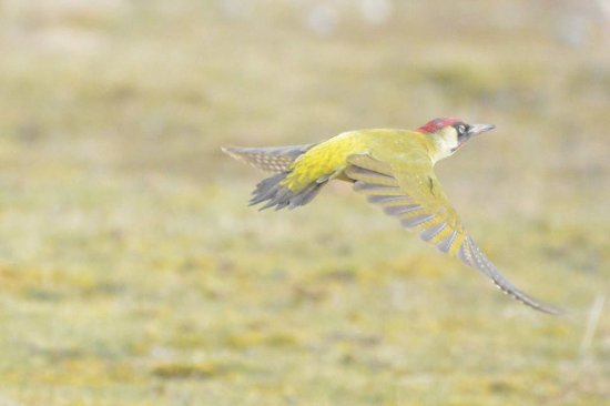 Westleton, UK: Green woodpecker