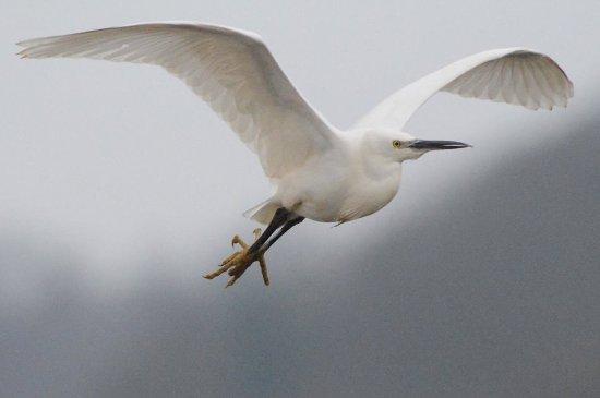 Westleton, UK: Egret