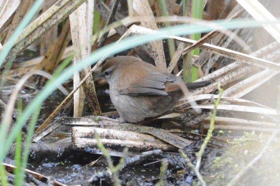 Westleton, UK: Cetti's warbler