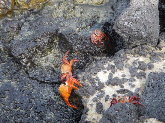 Genovesa, Equador: Cangrejos