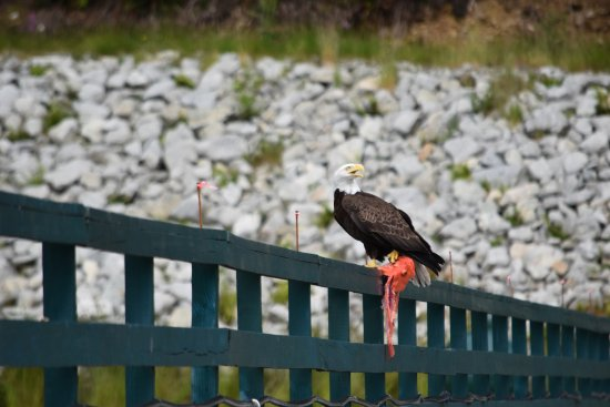 Dent Island Lodge: Loads of Eagles and their nests on the property
