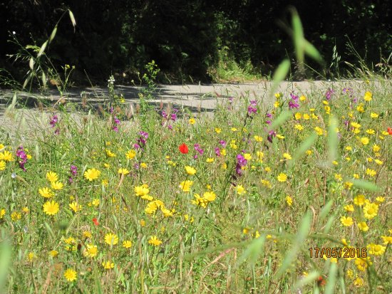Troulos Bay Hotel: Wild flowers on lane from Troulos leading to Aselinos Beach on North Coast