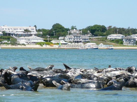 Seals on a sandbar with Chatham Bars Inn in the background