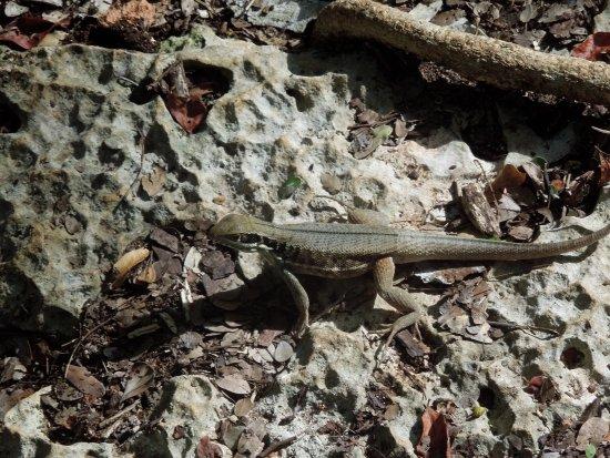 Varahicacos Ecological Reserve: Lagartija en la reserva