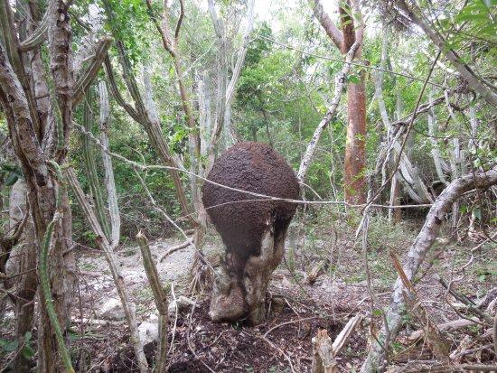 Varahicacos Ecological Reserve: Termitero