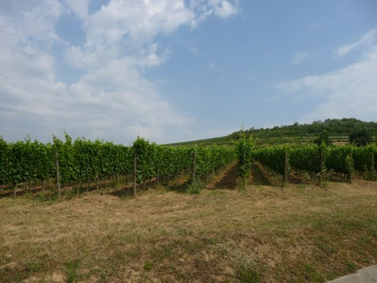 Tarcal, Ungarn: The vineyard by the hotel