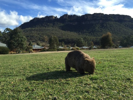 Wolgan Valley, ออสเตรเลีย: This wombat lives amongst the villas.