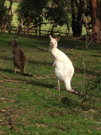 Półwysep Mornington, Australia: Albino residents!