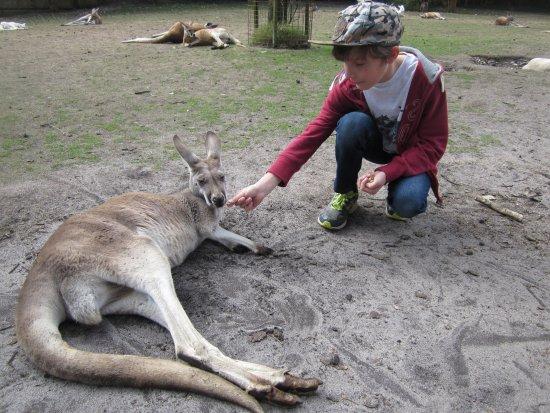 Whiteman, Αυστραλία: The kangaroo's love to be hand fed!!