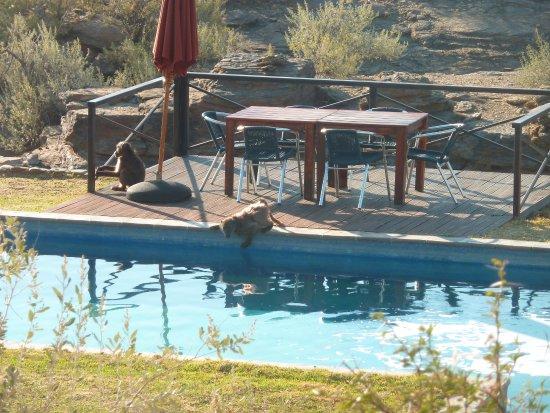 N/a'an ku se Lodge and Wildlife Sanctuary: Piscine occupée le matin par les damans des rochers