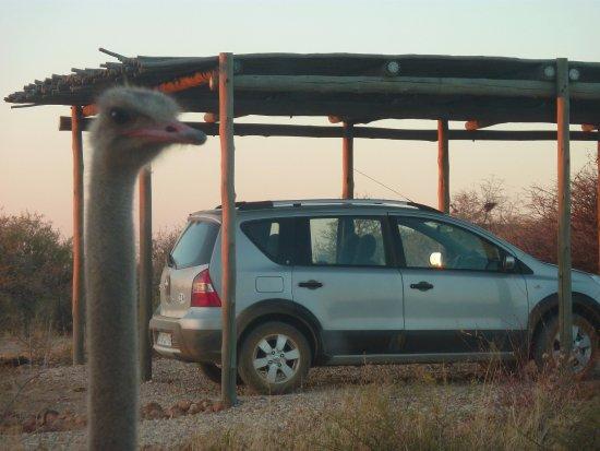 N/a'an ku se Lodge and Wildlife Sanctuary: Il n'est pas rare de trouver devant sa voiture le matin sa voisine...