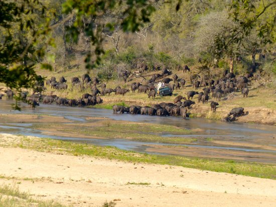 Mala Mala Private Game Reserve, Sydafrika: Large herd of water buffalo -- as we were checking in