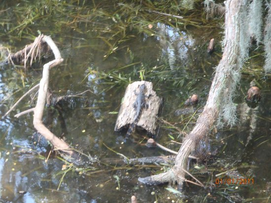 Mount Dora, FL: Saw a baby alligator on our tour!