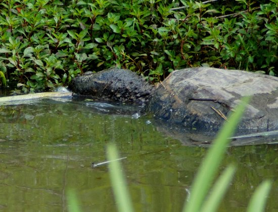 Valle Crucis, NC: Snapping turtle in the stream by the park