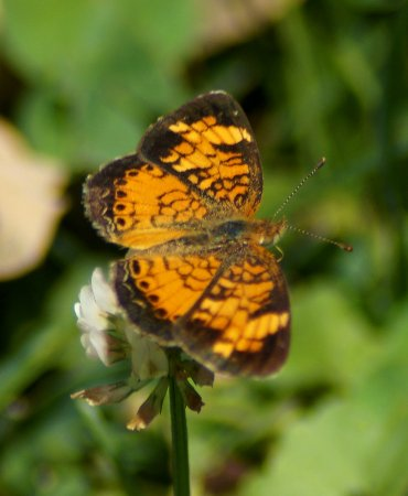 Valle Crucis, NC: Pearl Crescent butterfly
