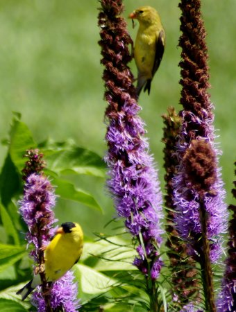 Valle Crucis, NC: Goldfinches