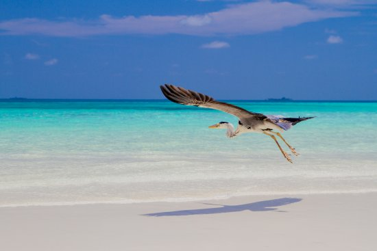 LUX* South Ari Atoll: Maldives Grey Heron taking off from the beach just outside our room