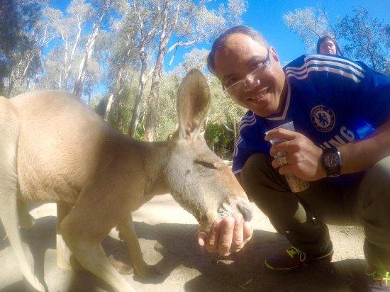 Currumbin, Australien: feeding the kangaroos