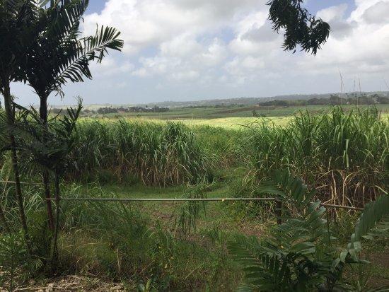 Saint George Parish, Barbados: Looking across the sugar cane fields