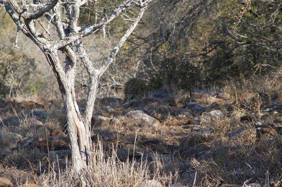 Pongola, Afrique du Sud : Spot the lion