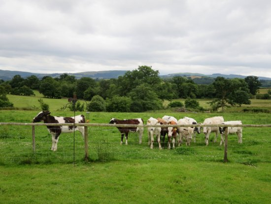 Builth Wells, UK: Calves recently let out into the field in front of the patio