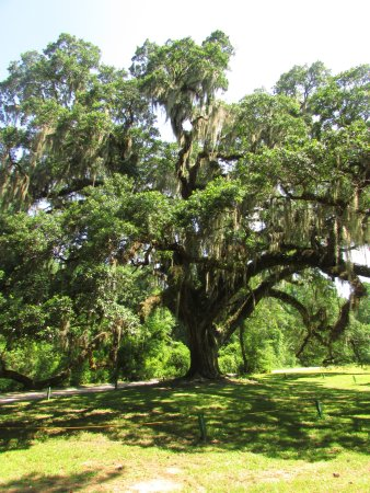 Spanish Fort, AL: Oak tree in park