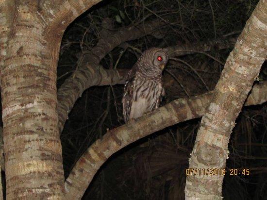 Astor, FL: Owl in the back yard.